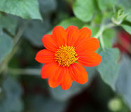 Tithonia Mexican Sunflower Royalty Free Stock Photography