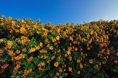 Tithonia ( Mexican sunflower) , viewpoint on mountain in the morning at Doi Mae U-khaw, Mae Hong Son province Thailand. Royalty Free Stock Image