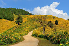 Tithonia ( Mexican sunflower) , viewpoint on mountain in the morning at Doi Mae U-khaw, Mae Hong Son province Thailand Stock Image