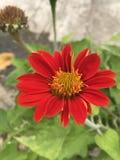 Tithonia rotundifolia eller röd solros Arkivfoton