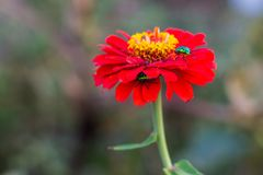 Tithonia rotundifolia and Micraspis discolor in Kanchanaburi Tha. Iland Stock Photography