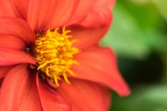 Tithoniarotundifolia, rode bloem royalty-vrije stock foto