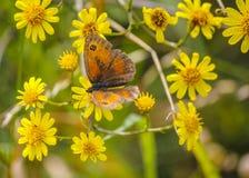 Tithonus de Pyronia de la mariposa del portero en la presa de Mavrokolympos en Chipre fotografía de archivo