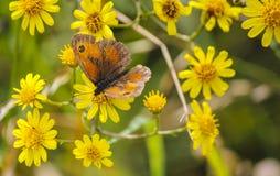 Tithonus de Pyronia de la mariposa del portero en la presa de Mavrokolympos en Chipre foto de archivo libre de regalías