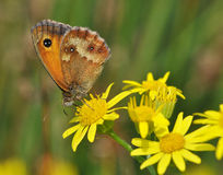 tithonus pyronia бабочки Стоковое Изображение