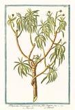 Tithymalus美洲的arborescens植物的老植物的例证 库存图片