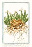 Tithymalus euphorbium植物的老植物的例证 库存图片