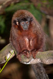 Titi Monkey Royalty Free Stock Image