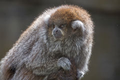 Titi Monkey. A small monky, the Titi Monkey Stock Photos