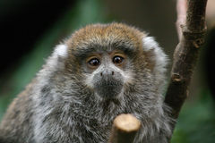 Titi Monkey. A baby Titi monkey photographed at a Central Coast zoo in California stock photo