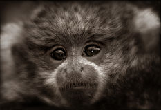 Titi Monkey Baby in Sepia. A sepia-toned photo of a Reed's Titi Monkey Baby. This baby monkey had the most wise and knowing eyes Stock Photos