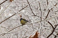 Titmouse зимы кавказский в снежных ветвях дерева стоковые изображения rf