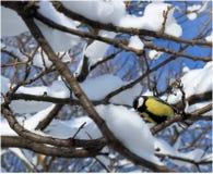 titmouse на дереве зимы Стоковое фото RF