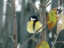 Titmouse на молодой яблоне Стоковые Фото