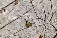 Titmouse опухнутый зимой желтый кавказский в снежных ветвях дерева стоковые фотографии rf