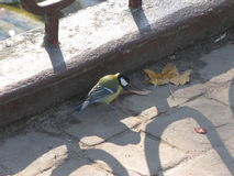 Titmouse пташки Стоковая Фотография RF