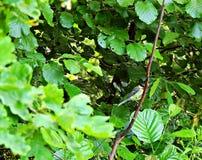 Titmouse сидя на ветви дерева Польша Opole путь парка города стоковые изображения