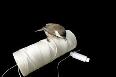Titmouse. And a hank of threads are isolated on a black background Royalty Free Stock Image