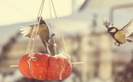 titmouse fotografia royalty free