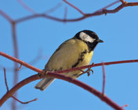 Titmouse Stock Images
