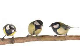 Titmouse Stock Image