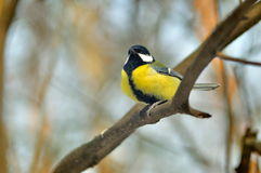 Titmouse Royalty Free Stock Photography