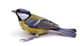 Titmouse Royalty Free Stock Photos