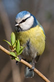 Titmouse stockfotos
