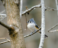 Titmouse Stockbilder