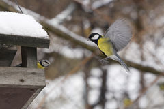 Titmouse Photo stock
