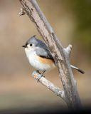 titmouse Images stock