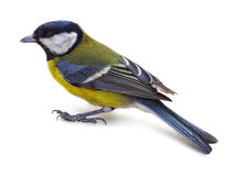 Titmouse 8 Royalty Free Stock Image
