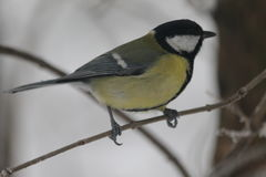 titmouse photos stock