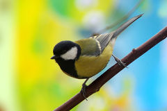 titmouse Fotos de Stock