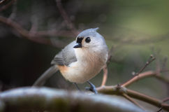 titmouse Stock Foto's