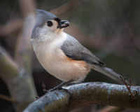 titmouse Obraz Royalty Free