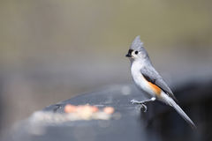 Titmouse adornado Fotos de Stock