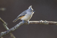 Titmouse adornado Fotos de Stock Royalty Free