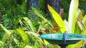 Titmouse adornado que bebe de um banho do pássaro vídeos de arquivo