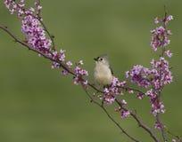Titmouse adornado que levanta nas flores de Redbud Fotos de Stock