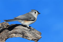 Titmouse (baeolophus bicolor) On A Stump. Tufted Titmouse (baeolophus bicolor) with a blue background Stock Image