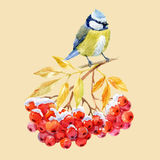 Titmouse bird and ashberry Stock Photography