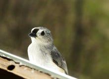 Titmouse Bird on Windowsill Royalty Free Stock Images