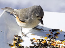 Titmouse Bird Feeding Royalty Free Stock Photos