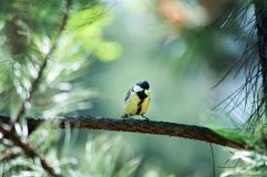 Titmouse bird in a forest Royalty Free Stock Photos