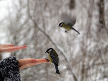 Titmouse bird in hand Stock Photography