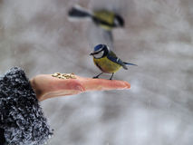 Titmouse bird in hand Stock Photo