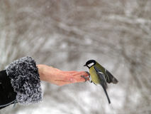 Titmouse bird in hand Royalty Free Stock Photo
