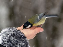 Titmouse bird in hand Royalty Free Stock Image