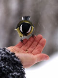 Titmouse bird in hand Stock Image